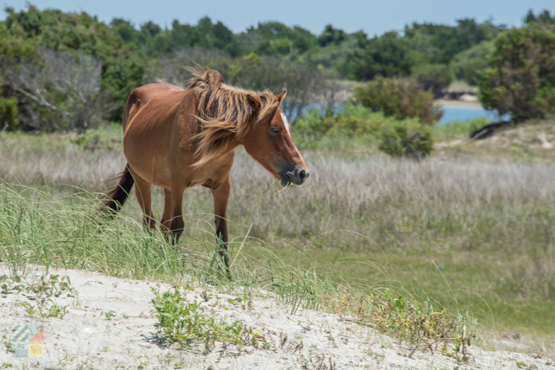 Shackleford Banks Wild Horses