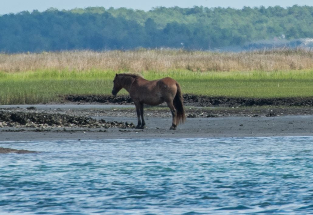 Shackleford Banks wild horse