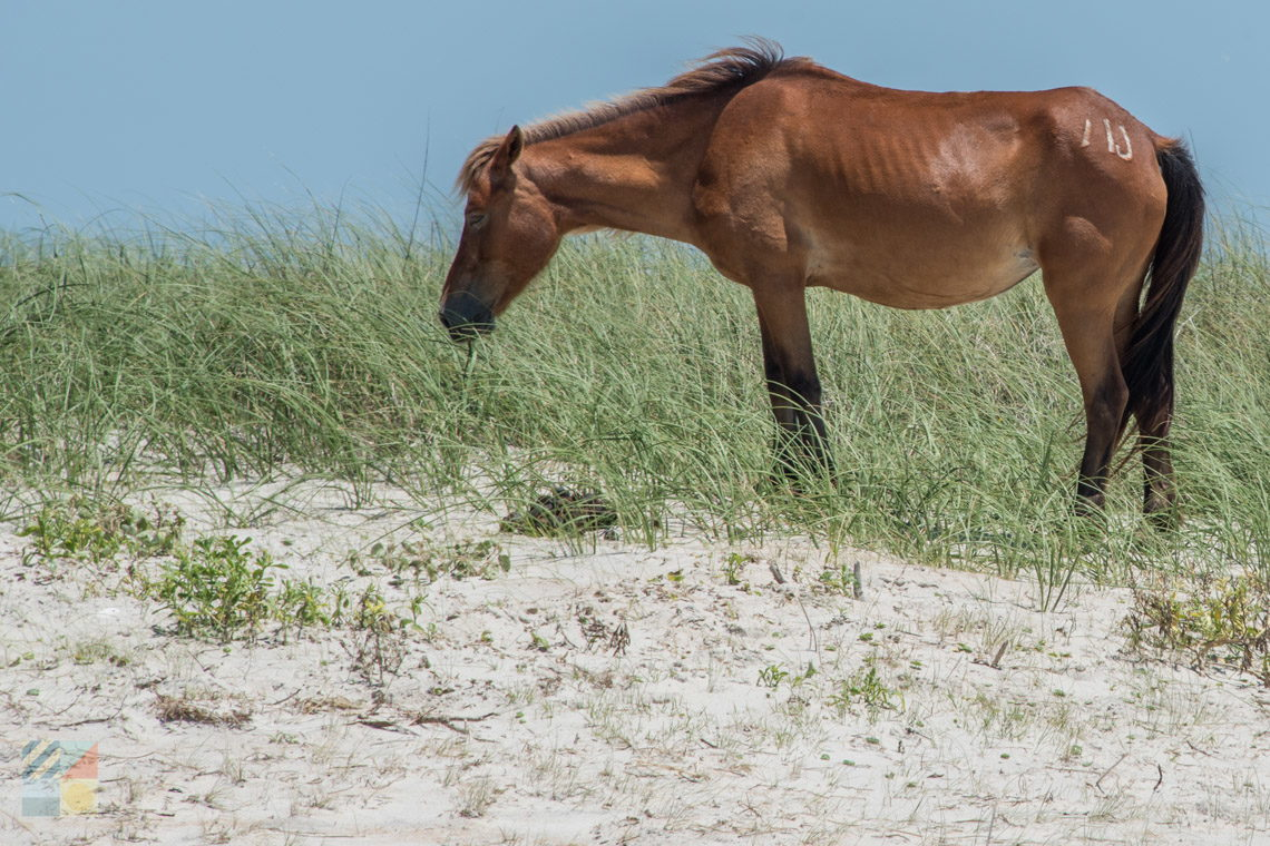 Shackleford Banks Wild Horses - CrystalCoast.com